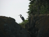 deerisland_blueheron_august2307-009
