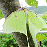 Lunar Moth on a tree.