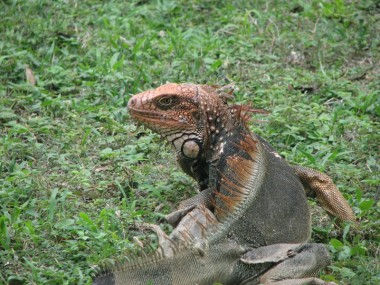 Very old and large Green Iguana, now reddish-orange and grey-black.