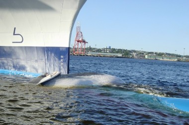 A FINBACK WHALE HIT AND KILLED BY A CRUISE SHIP THAT CAME INTO ST. JOHN HARBOR.