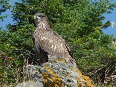 YOU DON'T HAVE TO BE A BIRDER TO GET EXCITED BY THE VISAGE OF A YOUNG BALD EAGLE JUST OFFSHORE. PHOTO BY FRANK POSTMA.