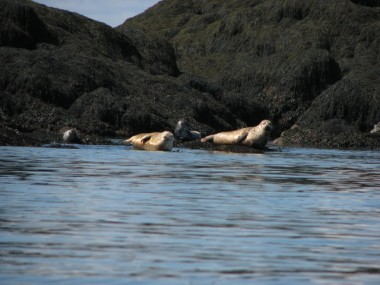 SEASCAPE CUSTOMERS ARE SURE TO SEA HARBOUR SEALS LIKE THESE SUNNING ON THE ROCKS OR SWIMMING IN THE BAY. PHOTO BY BRUCE SMITH.