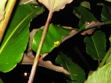 TINY FROG AT EVERGREEN ADVENTURE LODGE IN THE CARIBBEAN RAINFOREST, COSTA RICA.
