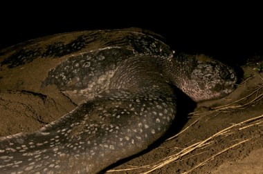 A GIANT LEATHERBACK TURTLE NESTING ON PLAYA NEGRA, COSTA RICA.