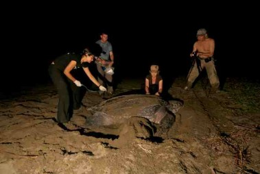 Giant Leatherback Turtles lay their eggs on the Caribbean side of Costa Rica